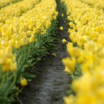 tulipanok uttal
